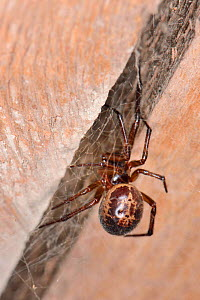 Noble false widow spider (Steatoda nobilis) female, close to its retreat between two roof beams in a garden shed, near Wells, Somerset, UK, September. - Nick Upton