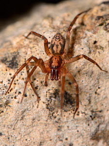 Running foliage spider / Spiny-legged sac spider (Liocranum rupicola), a nationally scarce species in the UK, hunting at night in an old stone wall, Wiltshire, UK, September.  -  Nick Upton