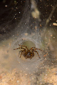 Toothed weaver spider (Textrix denticulata) female at the entrance to her silken funnel retreat in an old stone wall, Wiltshire, UK, October. - Nick Upton