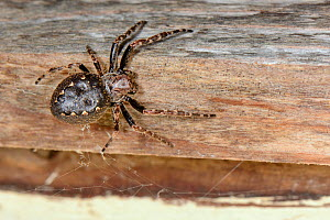 Walnut orb-weaver spider (Nuctenea umbratica) female, near a retreat under the eaves of a garden shed, near Wells, Somerset, UK, September. - Nick Upton