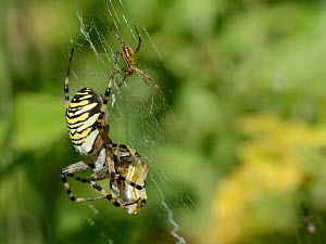 Male Wasp spider (Argiope bruennichi) approaching a much larger female to court her as she feeds on wrapped insect prey in her web, Dorset, UK, July.  -  Nick Upton