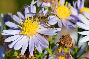 Wolf spider (Pardosa sp.) sunning on an Aster flowerhead, Wiltshire meadow, UK, September.  -  Nick Upton