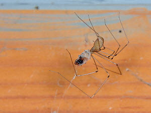 Longbodied cellar spider / Daddly longlegs spider (Pholcus phalangioides) hanging on its web in an outhouse and feeding on a House spider (Tegenaria sp.) it has killed and wrapped in silk, Somerset, U...  -  Nick Upton