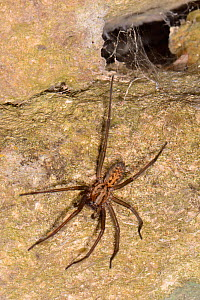 Close up view of a female House spider (Tegenaria sp.) hunting on an old stone wall near its funnel web retreat at night, Wiltshire, UK, September. - Nick Upton