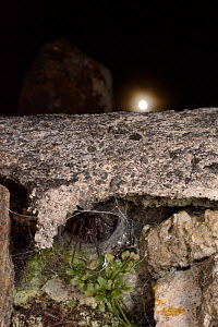 House spider (Tegenaria sp.) female at the mouth of her tubular silk retreat in an old stone wall with the moon in the background, Wiltshire, UK, September. - Nick Upton