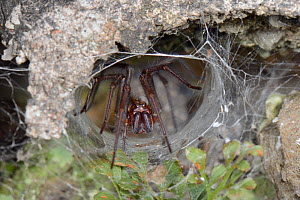Female House spider (Tegenaria sp.) at the mouth of her tubular silk retreat in an old stone wall, Wiltshire, UK, September. - Nick Upton