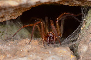 House spider (Tegenaria sp.) female on her web in an old stone wall, Wiltshire, UK, October. - Nick Upton