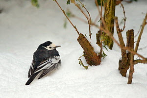 Pied wagtail (Motacilla alba) fluffed up to keep warm as it rests on deep snow under a hedge out of the wind in a garden, Wiltshire, UK, January. - Nick Upton