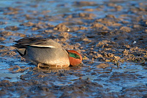 Common teal / Eurasian teal (Anas crecca) drake dabbling for invertebrate food in soft mud on a lake margin, Gloucestershire, UK, January.  -  Nick Upton