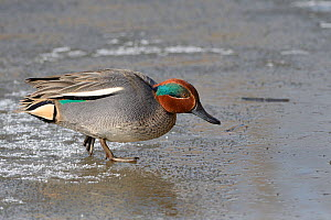 Common teal (Anas crecca) drake walking across a frozen, snow dusted pond, Gloucestershire, UK, February.  -  Nick Upton
