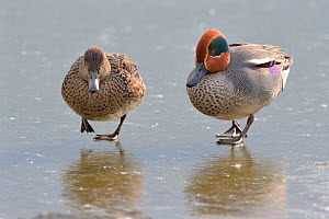 Common teal (Anas crecca) pair walking across a frozen lake, Gloucestershire, UK, February.  -  Nick Upton