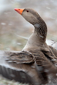 Greylag goose (Anser anser) flapping its wings in blowing snow, Gloucestershire, UK, February.  -  Nick Upton