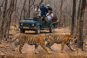 Bengal tiger (Panthera tigris tigris), two sub-adults crossing dirt road with tourists watching and photographing from jeep in background. Ranthambore National Park, Rajasthan, India. - Karine Aigner