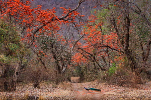Indian peafowl (Pavo cristatus), peacock walking across track between flowering Bengal kino / Flame of the forest (Butea monosperma) trees. Ranthambore National Park, Rajasthan, India. - Karine Aigner