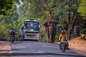 Asian elephant (Elephas maximus) and mahout riding along road with bus and motorbikes, Ranthambore, Rajasthan, India.  -  Karine Aigner