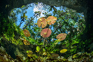 Water lilies at the surface in Cenote Nicte-Ha,Tulum, Quintana Roo, Yucatan Peninsula, Mexico.  -  Franco  Banfi
