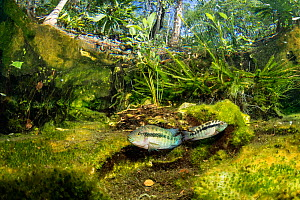 Freshwater fish, Cichlid, between water plants and leaves. El Eden cenote. Quintana Roo, Yucatan, Mexico.  -  Franco  Banfi