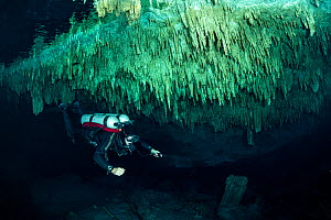 Scuba diver exploring Tajma Ha cenote, the ceiling of the cavern is covered with stalactites, Quintana Roo, Yucatan, Mexico.  -  Franco  Banfi