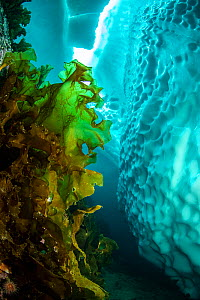 Sugar kelp (Saccharina latissima) near iceberg, view upwards to gap in sea ice. Tasiilaq, East Greenland. April.  -  Franco  Banfi
