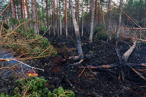 Fire damage in coniferous forest as a result of lightning strike in dry summer. Alam-Pedja Nature Reserve, Jogevamaa, Southern Estonia. August 2018. - Sven  Zacek