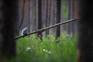 Ural owl (Strix uralensis) fledgling on first day out of nest, perched in swamp forest amongst Hare's-tail cottongrass (Eriophorum vaginatum). Tartumaa, Southern Estonia. May. - Sven  Zacek