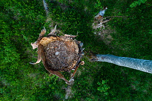 Ural owl (Strix uralensis) nest with egg in old Birch (Betula sp) tree, view from above. Tartumaa, Southern Estonia. May. - Sven  Zacek