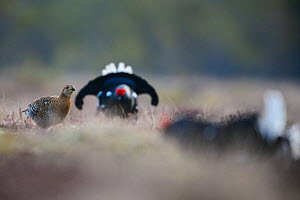 Black grouse (Tetrao tetrix) female at lek with males displaying. Vorumaa, Southern Estonia. April. - Sven  Zacek