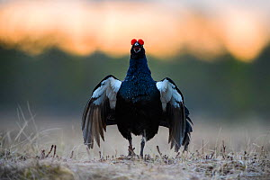 Black grouse (Tetrao tetrix) male displaying at lek in frost. Vorumaa, Southern Estonia. April. - Sven  Zacek