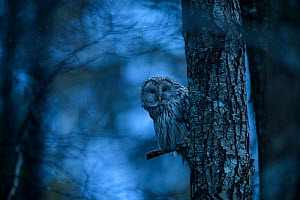 Ural owl (Strix uralensis) perched on Alder (Alnus sp) tree at dusk. Tartumaa, Southern Estonia. April.  -  Sven  Zacek