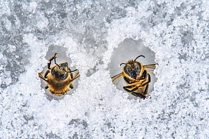 Honey bee (Apis mellifera), two frozen on pond ice after flying out too early. Valgamaa, Southern Estonia. March. - Sven  Zacek