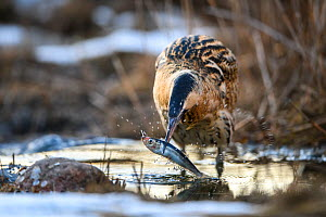 Great bittern (Botaurus stellaris) with fish in beak, caught in stream. Laanemaa, Western Estonia. March.  -  Sven  Zacek