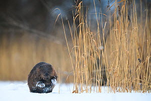 Eurasian beaver (Castor fiber) on ice besides reeds in Emajogi River, Tartumaa, Southern Estonia. January.  -  Sven  Zacek