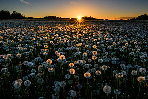 Dandelion (Taraxacum officinale), a field of many seedheads highlighted at sunset. Karula National Park, Valgamaa, Southern Estonia. June 2017. - Sven  Zacek