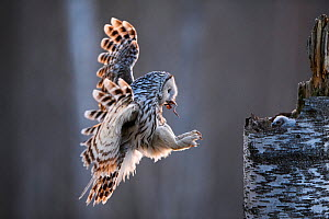 Ural owl (Strix uralensis) female arriving at nest with Common frog (Rana temporaria) in beak to feed to chick. Tartumaa, Southern Estonia. May. - Sven  Zacek