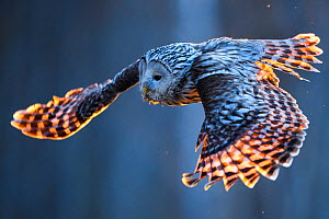 Ural owl (Strix uralensis) female in flight having taken off from nest, in evening light. Tartumaa, Southern Estonia. May.  -  Sven  Zacek