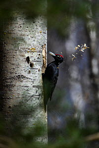 Black woodpecker (Dryocopus martius) excavating nest hole. Valgamaa, Southern Estonia. April. - Sven  Zacek