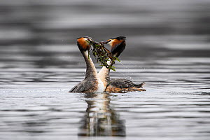 Great crested grebe (Podiceps cristatus) pair in courtship weed dance, presenting potential nesting material to each other after diving. Otepaa Nature Park, Valgamaa, Estonia. April. - Sven  Zacek