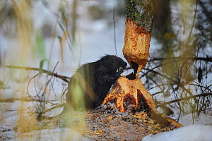 Beaver (Castor fiber) felling a Birch (Betula sp) tree for winter supplies. Tartumaa, Southern Estonia. November. - Sven  Zacek