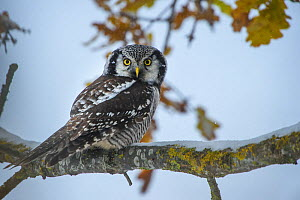Hawk owl (Surnia ulula) perched on Oak (Quercus sp) branch. Tartumaa, Southern Estonia. November. - Sven  Zacek