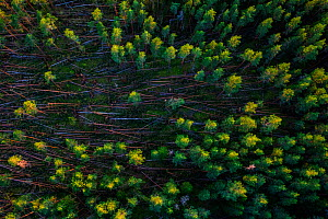 Aerial view of storm damage in coniferous forest. Karula National Park, Valgamaa, Southern Estonia. July 2016. - Sven  Zacek