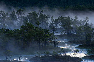 Mist over bog with conifers in pre-dawn light. Endla Nature Reserve, Jogevamaa, Central Estonia. June 2016. - Sven  Zacek