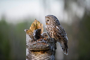 Ural owl (Strix uralensis) female perched at nest site with nestling chick, Tartumaa, Southern Estonia. May.  -  Sven  Zacek