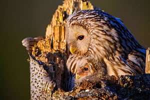 Ural owl (Strix uralensis) female and nestling on nest in tree stump. Tartumaa, Southern Estonia. May. - Sven  Zacek