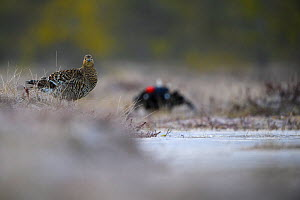 Black Grouse (Tetrao tetrix) female at lek with male in background. Vorumaa, Southern Estonia. April. - Sven  Zacek
