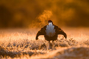 Black grouse (Tetrao tetrix) male displaying at lek on frosty morning, rear view. Vorumaa, Southern Estonia. - Sven  Zacek