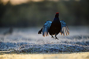 Black grouse (Tetrao tetrix) male displaying at lek, in frost. Vorumaa, Southern Estonia. April. - Sven  Zacek