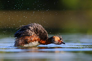 Horned grebe (Podiceps auritus) shaking itself dry after diving. Harjumaa, Northern Estonia. July.  -  Sven  Zacek