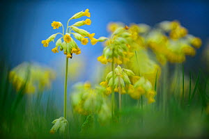 Cowslip (Primula veris) flowering, soft focus. Otepaa Nature Park, Valgamaa, Southern Estonia. May.  -  Sven  Zacek