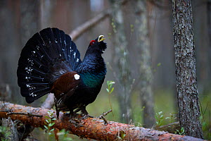 Capercaillie (Tetrao urogallus) male displaying on Pine (Pinus sp) tree in boreal forest. Tartumaa, Southern Estonia. May. - Sven  Zacek