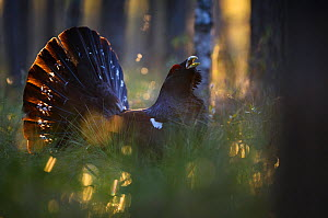 Capercaillie (Tetrao urogallus) displaying in forest following rainfall. Tartumaa, Southern Estonia. May. - Sven  Zacek
